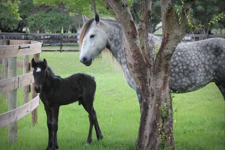 Dales Ponies -2
