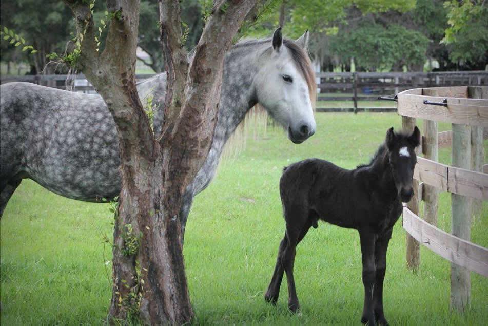 Dales Ponies -2a