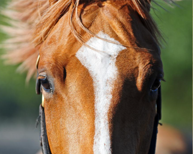 Face of the Thoroughbred